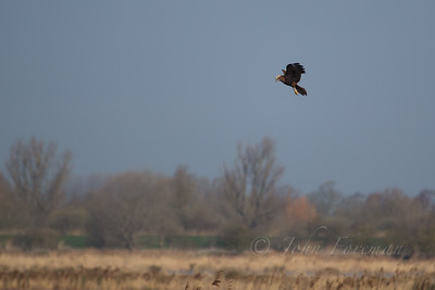 Marsh Harrier, Wicken Fen