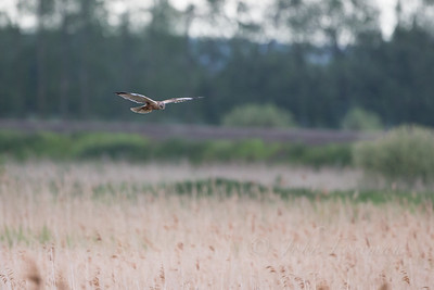 Male Marsh Harrier, Suffolk