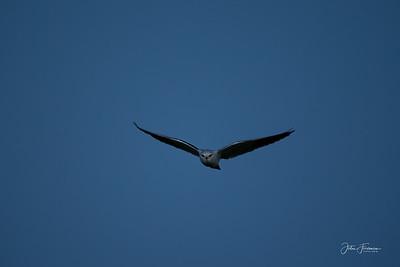 Male Hen Harrier, Gers