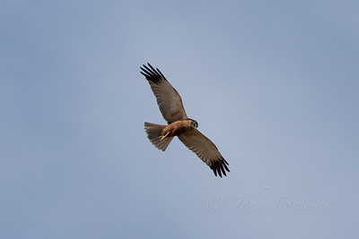 Marsh Harrier, Suffolk