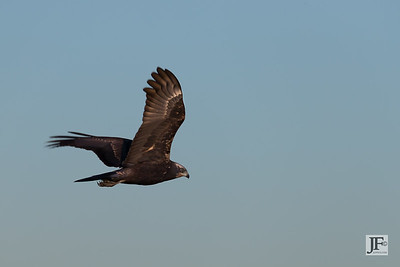Marsh Harrier, Rio Guadalhorce