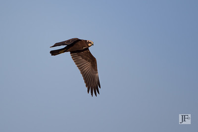 Female Marsh Harrier, Suffolk