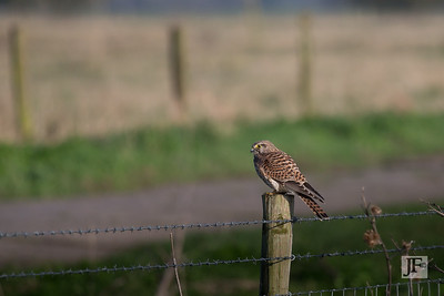 Kestrel, Wicken Fen