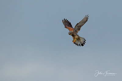 Kestrel, Hengistbury Head