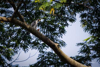 Peregrine Falcon, Pulau Ubin