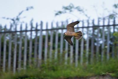 Peregrine Falcon, Cambridgeshire