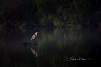 Grey Heron, Jakarta
