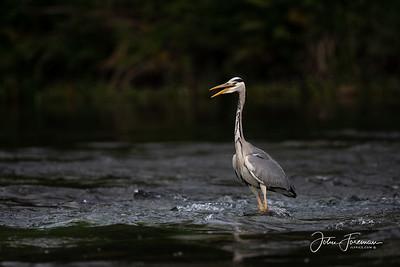 Grey Heron, River Stour