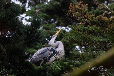 Grey Heron, Dorset