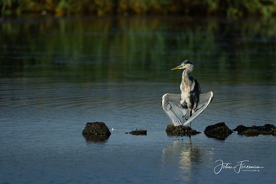 Grey Heron, Minsmere