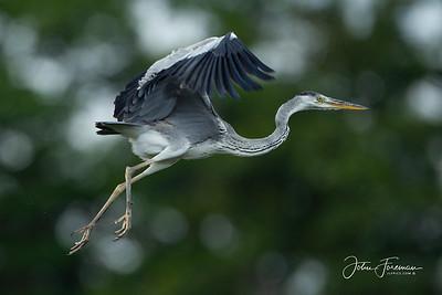 Grey Heron, Pulau Ubin