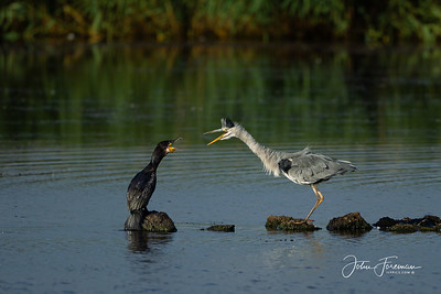 Comorant and Grey Heron, Minsmere