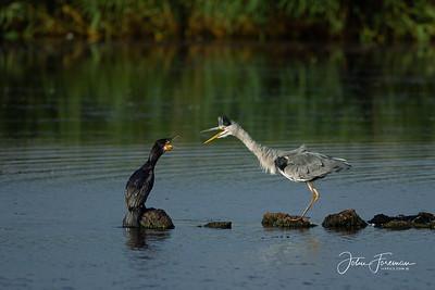 Comorant and Grey Heron, Minsmere