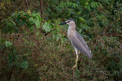 Black Crowned Night Heron, Jakarta