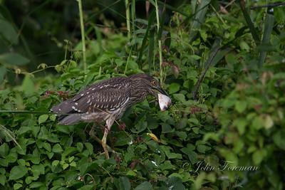 Juvenile Black Crowned Night Heron, Jakarta