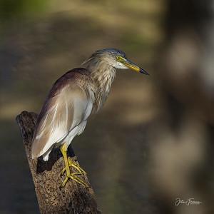 Indian Pond Heron, Yala