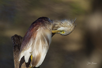 Indian Pond Heron, Yala