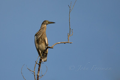 Indian Pond Heron, Goa