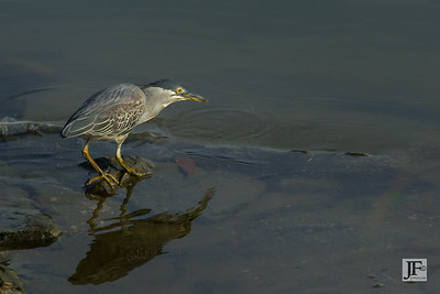 Striated Heron, Singapore