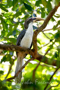 Sri Lanka Grey Hornbill, Yala