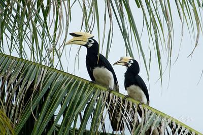 Oriental Pied Hornbills, Pulau Ubin