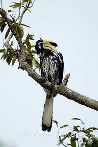 Oriental Pied Hornbill, Pulau Ubin