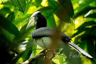 Oriental Pied Hornbill, Sungei Buloh