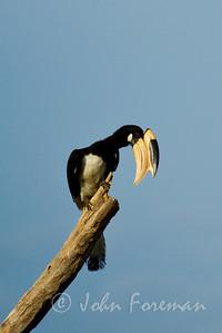 Pied Hornbill, Yala