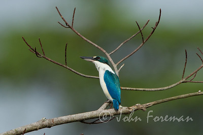 Collared Kingfisher, Pulau Ubin