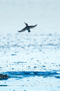 Collared Kingfisher, Koh Libong