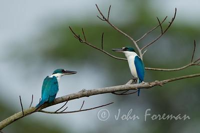 Collared Kingfishers, Pulau Ubin