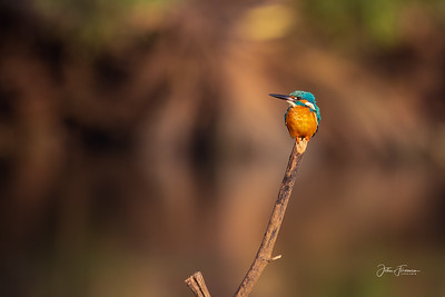 Common Kingfisher, Goa