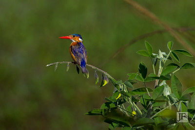 Malachite Kingfisher, Naivasha