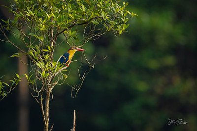 Stork-billed Kingfisher, Singapore