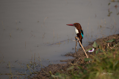 White Throated Kingfisher, Rajasthan