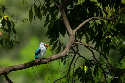 Woodland Kingfisher, Masai Mara