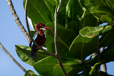 White Throated Kingfisher, Colombo