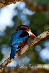 White Throated Kingfisher, Yala