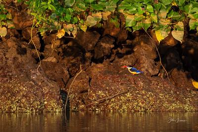 Black-capped Kingfisher, Goa