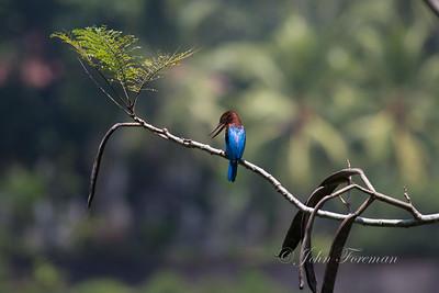 White throated kingfisher, Hikkaduwa