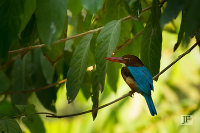 White throated Kingfisher, Delhi
