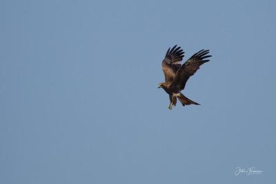 Black Kite, Agra