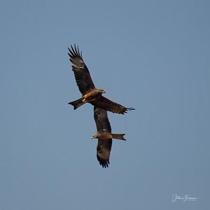 Black Kites, Agra