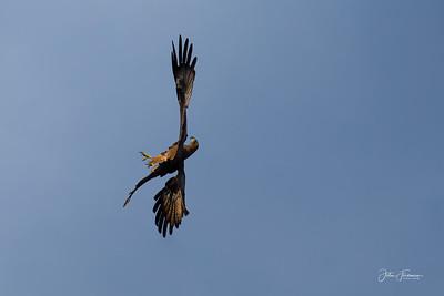 Black Kite, Mumbai