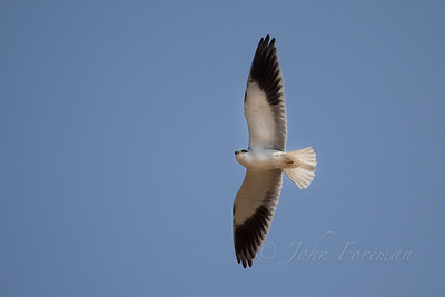 Black winged kite, Ranthambore