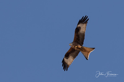 Red Kite, Segovia