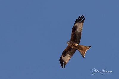 Red Kite, Segovia