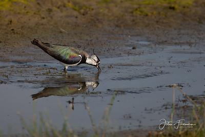 Lapwing, Rutland Water