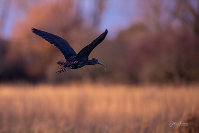 Glossy Ibis, Stanpit Marshes