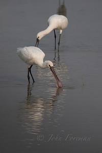 Eurasian Spoonbill, Rajasthan
